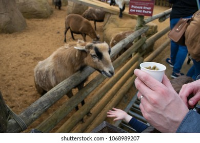 People feeding goats at Colchester zoo, Colchester, England, on 7th of April 2018
