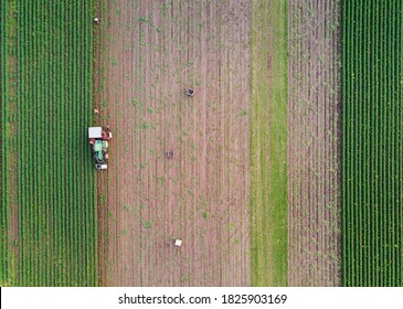 People harvesting carrots on the fields with a tractor and wooden crates. An above view of the straight plows of the fields.
