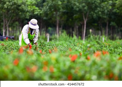 People harvesting chilli  agriculteral in organic farm in Thailand