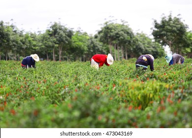 People harvesting chilli tree agriculteral in organic farm in Thailand