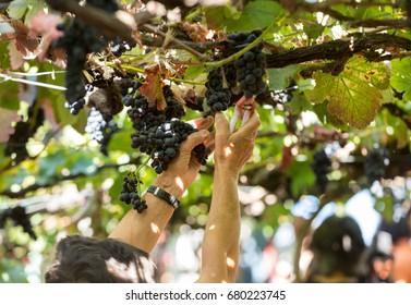 People harvesting grapes in the vineyard of the Madeira Wine Company at Madeira Wine Festival in Estreito de Camara de Lobos, Madeira, Portugal