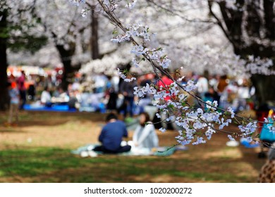 People having a picnic on the grassy ground and admiring beautiful cherry blossoms under huge Sakura trees on a sunny spring day in Omiya Park, Saitama, Japan ~ Hanami  is a popular activity in Japan