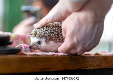 People holds cute dwarf hedgehog in palm on blur background.