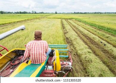 People on harvester agriculture machine and harvesting in rice field working