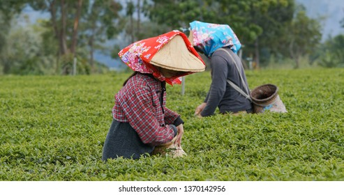 People pick green tea leaves in the farm