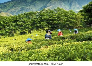 People picking green tea on plantation in Java,  Indonesia