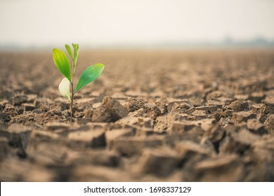 People planting the seedlings into the arid soil.   Seedlings are growing from arid soil .concept of global warming.