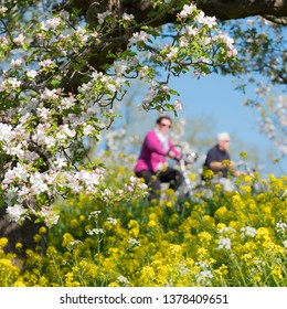 people ride bike on dike between blossoming apple trees under blue sky in holland near geldermalsen