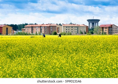 People riding bicycles between fields of Rapeseed in summer, Finland. Blue sky and sunny day. Rapeseed (Brassica napus), also known as rape, oilseed rape, rapa, rappi, rapaseed.