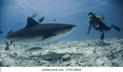 people and sharks: shark diving