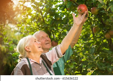 People smiling and picking apples. Happy old couple. From seeds to fruits.