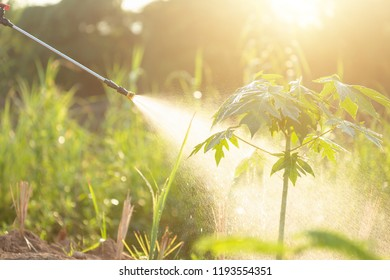 People spraying water or fertilizer to young papaya tree in garden. Shoot in morning time with sunlight effect