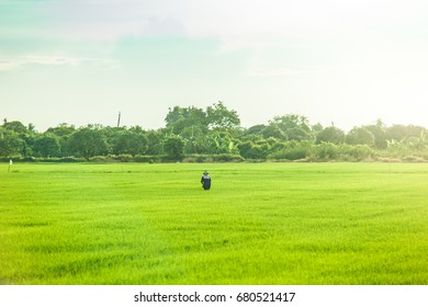 People are standing in a rice field. While there is sunlight.