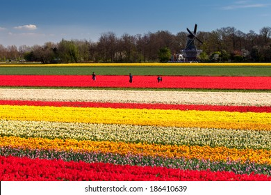 People standing in tulip fields with windmill near Lisse, Netherlands