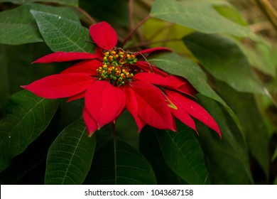 People think that the red color is flowers.n fact, red is part of the cotyledons, which are the lower leaves another green.The flowers of Poinsettia that a small flower clusters above the foliage.