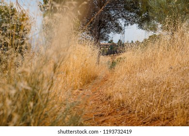 People trampled path passing through a field with wheat in a beautiful sunny day