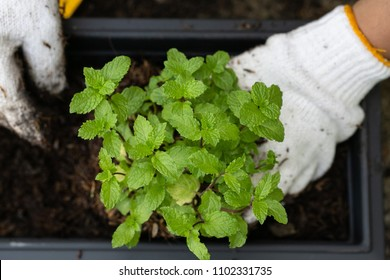 People wear gloves to grow peppermint in pots.