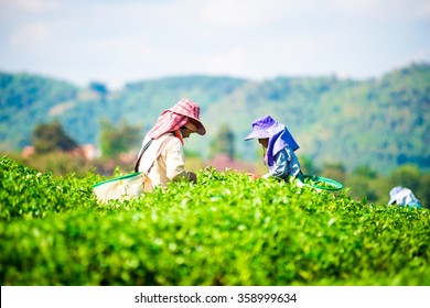People were picking tea leaves at a tea plantation.