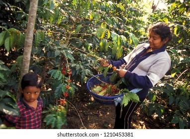 People at work in a coffee Plantation in the town of Antigua in Guatemala in central America.   .   Guatemala, Antigua, December, 2009