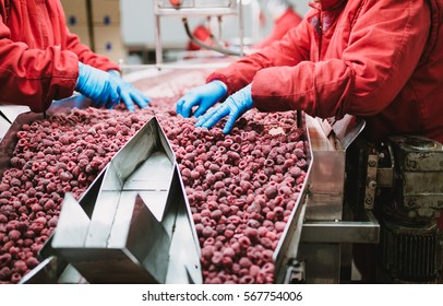 People at work. Unrecognizable workers hands in protective blue gloves make selection of frozen raspberries. Factory for freezing and packing of fruits and vegetables. Low light and visible noise.