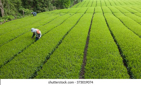 People working in green tea plantation in Japan