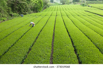 People working in Japanese green tea plantation, Shizuoka