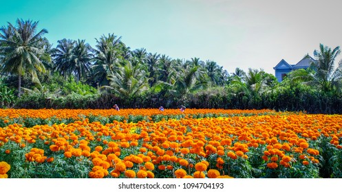 People working on flower plantation at spring time in Can Tho, Vietnam.