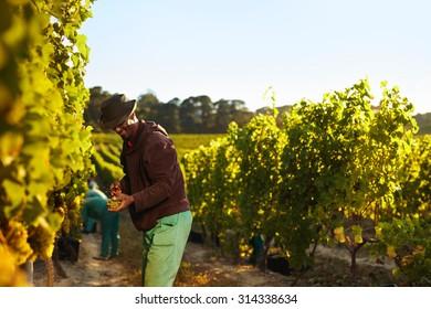 People working in vineyard. Workers harvesting grapes from rows of vines in grape farm.