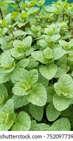 pepermint green tea