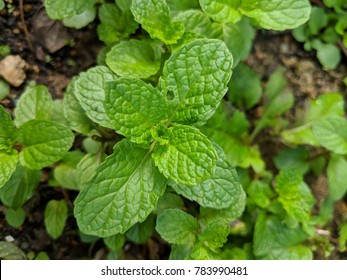 Pepermint plant in the garden