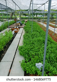 Pepermint's clusters next to a walkway in modern farm's plant house in Thailand