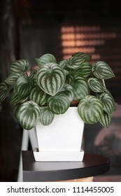 Peperomia argyreia for decorated in a cafe.