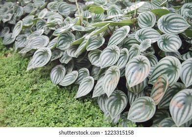 Peperomia argyreia (Hook.f.) E.Morren, Watermelon peperomia, PIPERACEAE.
