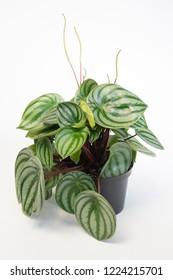 Peperomia argyreia plant