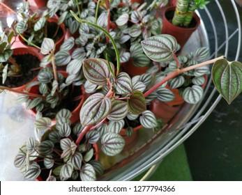 peperomia argyreia plant.