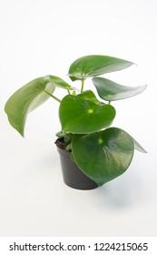 Peperomia arifolia plant