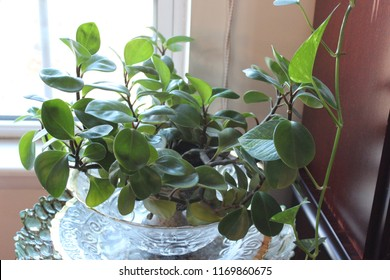 Peperomia, also called the baby rubber plant, is an indoor house plant used in homes to add color and help clean the air. This plant is hardy and easy to grow and make excellent hanging plants.