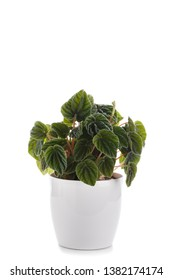 Peperomia caperata, emerald Ripple house plant isolated over white background