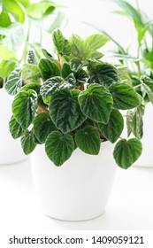 Peperomia caperata, Emerald Ripple house plant on white table,vertical