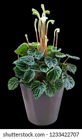 Peperomia caperata Lillian houseplant isolated on a black background with clipping path.