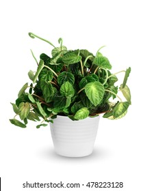 Peperomia caperata a potted plant isolated over white