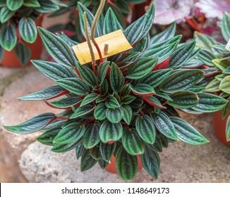Peperomia caperata rosso in a pot