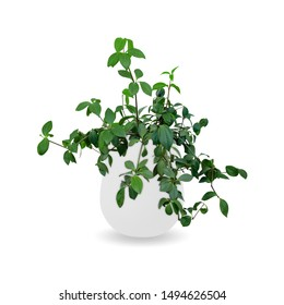 Peperomia glabella a potted plant isolated over white