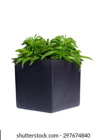 Peperomia happybean in gray ceramic pot isolated on white background.