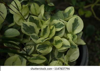 Peperomia obtusifolia  American Rubber Plant Growing mulch helps maintain moisture in the trees. Planted as a potted plant. Peppermint