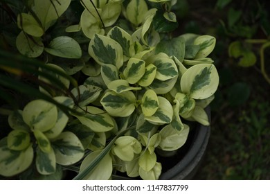 Peperomia Images Stock Photos Amp Vectors Shutterstock