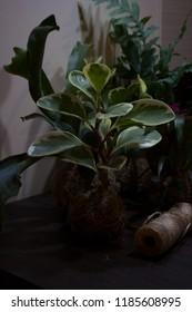 Peperomia obtusifolia plant in kokedama ball