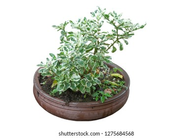 Peperomia obtusifolia plant with rain drops in brown pot isolated on white background, clipping path.