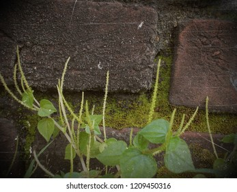 Peperomia on the wall, rough backgound with plant, wall and plant background
