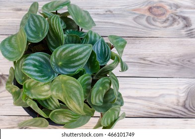 Peperomia  on wooden background